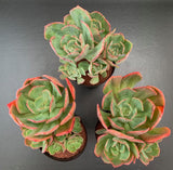 Echeveria Briar Rose with offsets