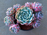 Echeveria Elegans cutting (set of 4)