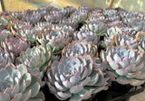 Echeveria Subsessilis aka Morning Beauty (L) succulent plant