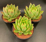 Echeveria Agavoides Water Lily (L) succulent plant
