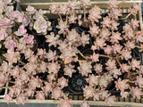 Graptopetalum Paraguayense subsp. Bernalense cutting (set of 6)