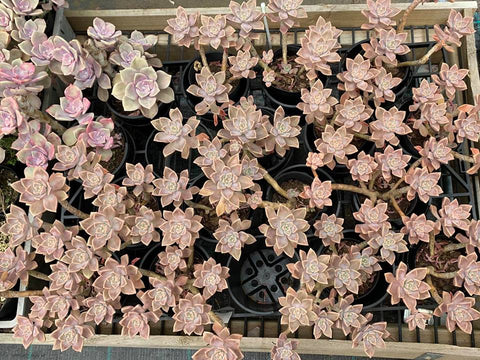 Graptopetalum Paraguayense subsp. Bernalense cuttings (set of 6)