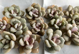 Graptoveria Margaret Rose cutting (x1)
