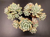 Graptoveria Moonglow x Exotica cluster