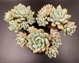 Graptoveria Moonglow x Exotica AKA Graptoveria 'A Grim One' cluster