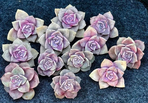 Graptoveria Purple Delight cutting (S) (x1)