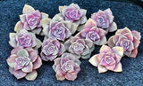Graptoveria Purple Delight cutting (M) (x1)