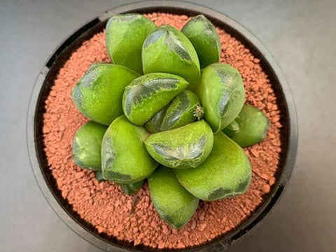Haworthia Big One succulent plant