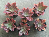 Graptoveria Fred Ives succulent plant