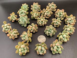Pachyveria Clavifolia cutting (set of 4)