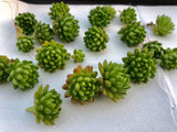 Sedum Hirsutum ssp Baeticum cutting (set of 6)