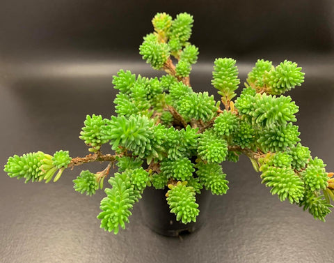 Sedum Multiceps (Miniature Joshua Tree) cutting (set of 6)