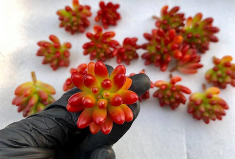 Sedum Rubrotinctum Red Jelly beans cutting (set of 4)