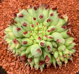 Sempervivum Calcareum 'Grigg's Surprise' succulent plant