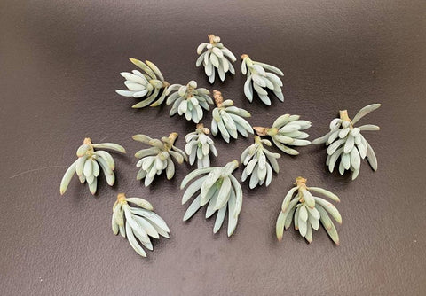 Senecio Serpens (Dwarf Blue chalksticks) cutting succulent plant (set of 6)