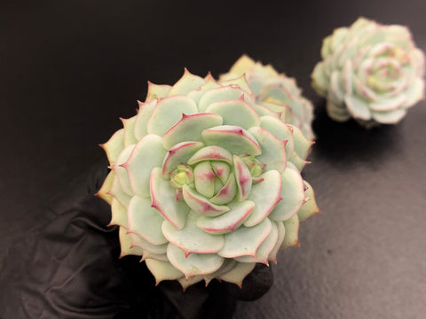 Echeveria Derenbergii cutting (x1)