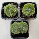 Sempervivum 'Tiny Tots'