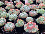 Echeveria Elegans (single head) succulent plant