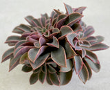 Echeveria 'Fantastic Fountain' (2-3heads)