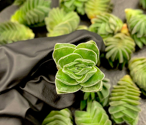 Crassula Buddha's Temple cutting (S) (x1) (***)