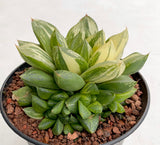 Haworthia Cuspidata variegated with offsets (#2)
