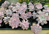 Graptopetalum Pentandrum Superbum (M)