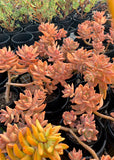 Sedum Pats Pink cutting (set of 5)