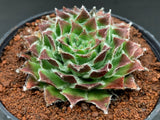 Sempervivum 'Skrocki's Beauty'