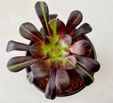 Aeonium 'Big Bang'