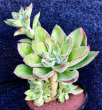 Echeveria Giant Mexican Fire Cracker with offsets