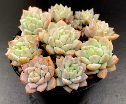 Echeveria Prolifica (XS)