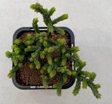 Crassula Muscosa aka Watch Chain - monstrose form
