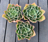 Echeveria Blue Waves
