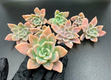 Echeveria Manda cutting (set of 3)