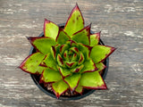 Echeveria Agavoides 'Red Edge' monstrose