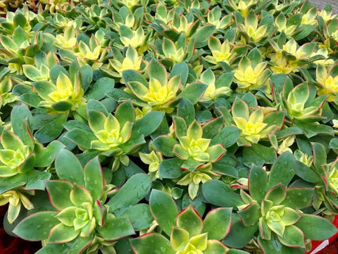 Aeonium Kiwi Tricolor cutting (set of 4)