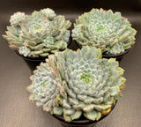 Echeveria Setosa with offsets (L)