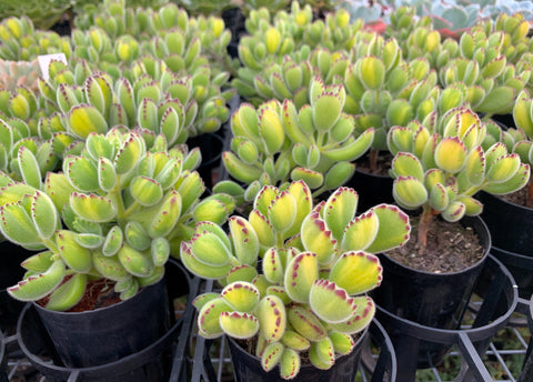 Cotyledon Tomentosa Bear's Paws Variegata (yellow and green variegation) succulent plant