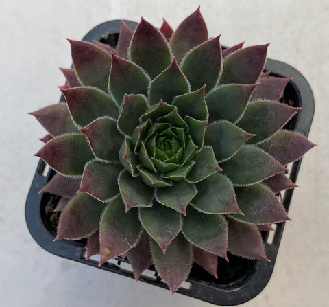 Sempervivum Slabber's Seedling