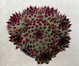 Sempervivum Sir William Lawrence with offsets (L)