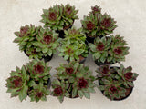 Echeveria Agavoides Blood Maria with offsets (L) (***)