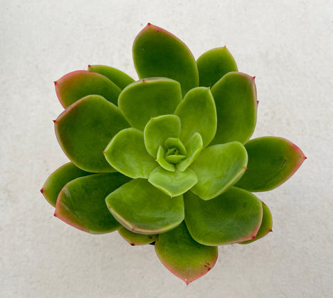 Echeveria Golden Glow