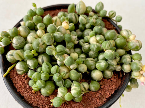 Senecio Rowleyanus 'String of Pearls' VARIEGATED (M)