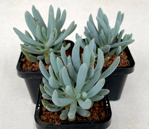 Senecio Serpens (Dwarf Blue chalksticks)