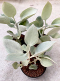Kalanchoe Hildebradtii Silver Spoons (***)