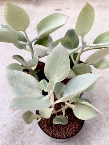Kalanchoe Hildebradtii Silver Spoons