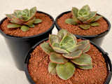 Echeveria 'Green smile' (S)