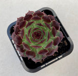 Sempervivum calcareum 'Guillaumes' (SH)