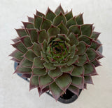 Sempervivum 'Pacific Red Rose'