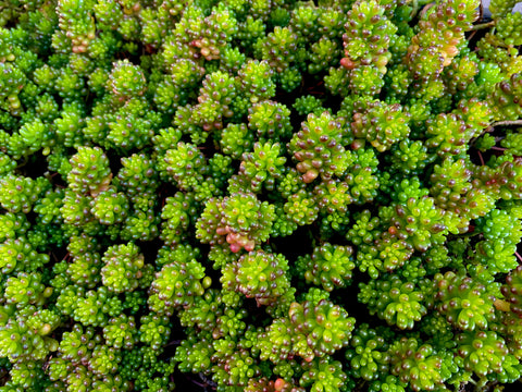Sedum rubrotinctum 'Red Berry' Compact form - cutting (set of 3)